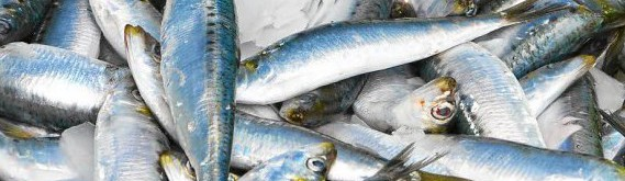 sardine-a-la-recherche-du-petit-poisson-bleu_2463821_583x434p